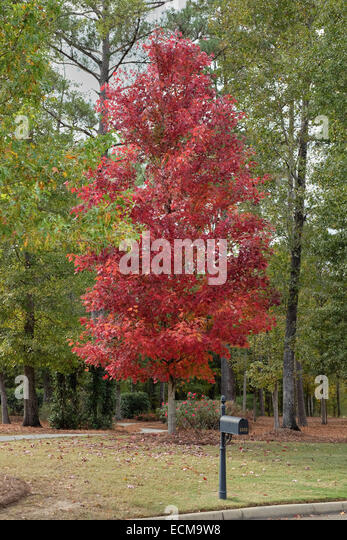 Acer rubrum, October Glory, maple tree showing it's Fall red color in a rural setting. - Stock Image