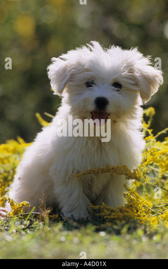 Mongrel (Canis lupus familiaris), white puppy sitting on a flowering meadow - Stock Image