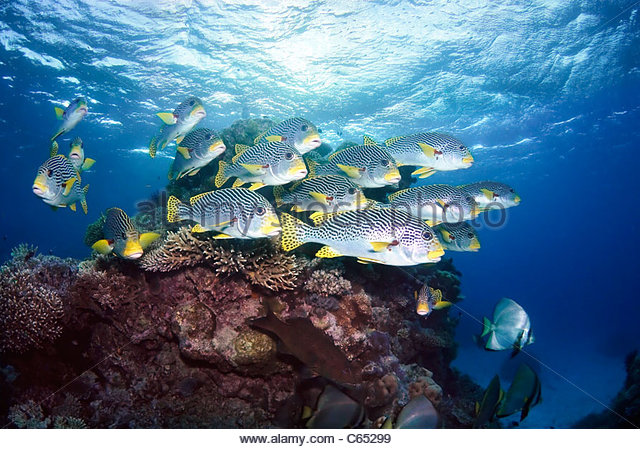 School of tropical reef fish Ribbon Reefs Great Barrier Reef Australia - Stock Image