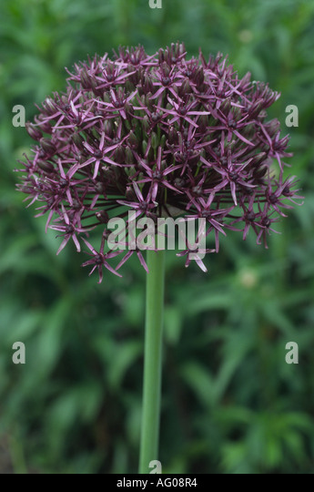 Allium 'Firmament' Ornamental onion. - Stock Image