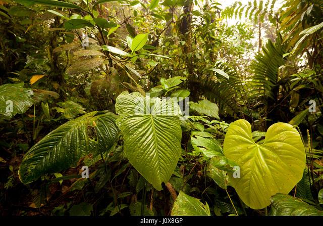 Vegatation inside Omar Torrijos National Park (El Cope) in Cocle province, Republic of Panama. - Stock-Bilder