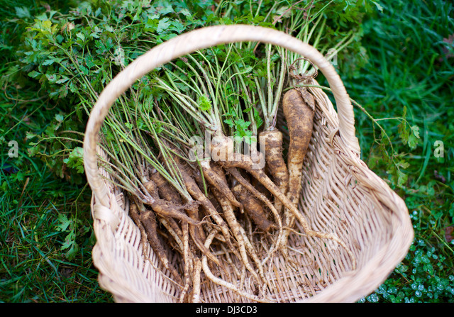 Basket with organic root parsley, fresh from the garden. - Stock Image