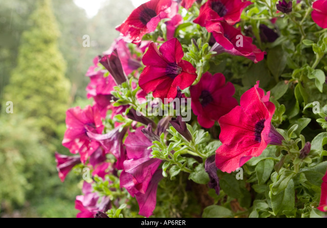 Municipal Hanging Flower Baskets : Surfina stock photos images alamy