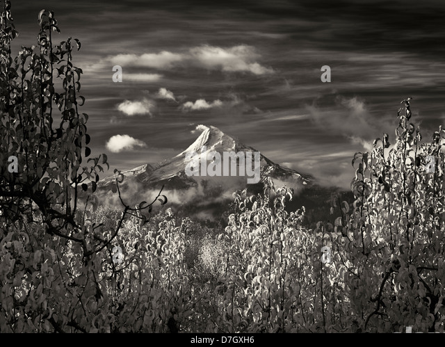 Pear orchard in fall color and Mt. Hood. Hood River Valley, Oregon - Stock Image