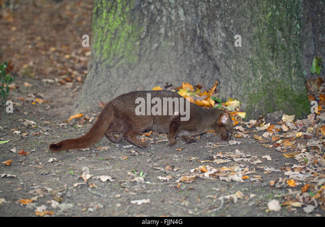 Jaguarundi (Puma yagouaroundi). Grey phase. Shy reclusive small cat, found in Central, and much of South America - Stock Image