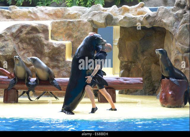 Loro Parque, Tenerife, Canary Islands, Sea Lion performance, Loro wildlife park or zoo, Tenerife, Spain - Stock Image