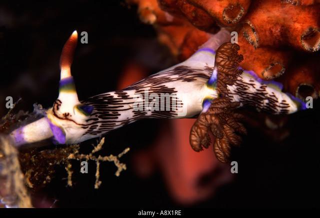 Nembrotha lineolata Feeding - Stock Image