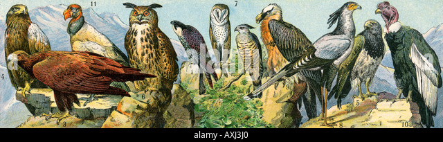 Raptor birds including owl condor and other birds of prey - Stock Image
