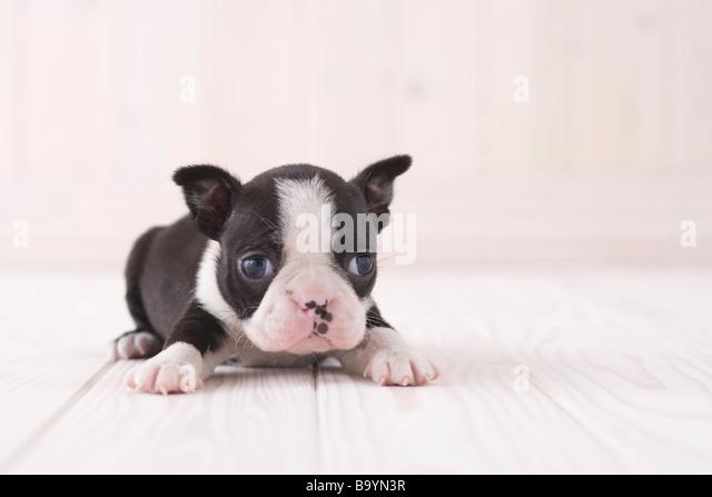 Boston terrier lying down - Stock Image
