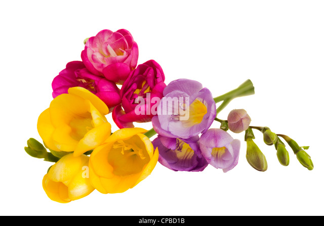 how to grow freesias uk