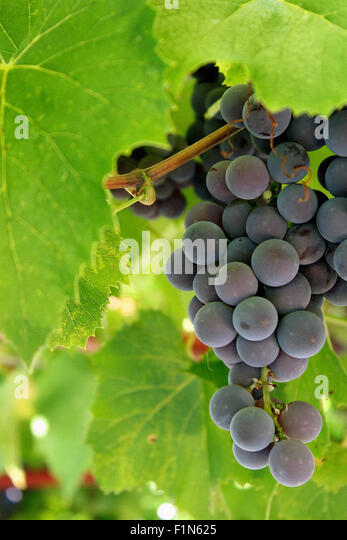 Bunch of Concord Grapes on the Vine and Includes Copy Space - Stock Image