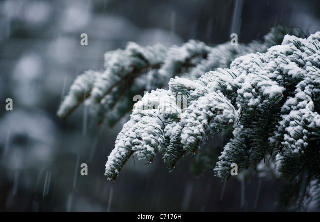 Fresh snow falls onto a pine tree in Lake Tahoe, Nevada. - Stock Image