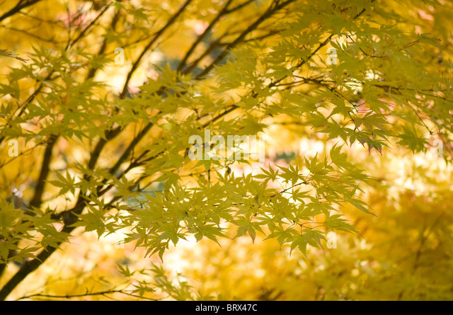 Close-up image of the beautiful autumn colours of the Japanese Maple tree leaves also known as Acer Palmatum. - Stock Image