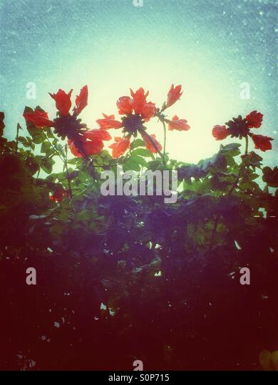 Orange tropical flowering tree - Stock Image