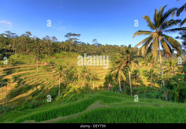 Indonesia, Bali, Ubud, Tegallalang/Ceking Rice Terraces - Stock Image