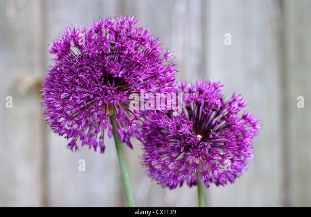 Purple Alliums in flower, England, UK - Stock Image