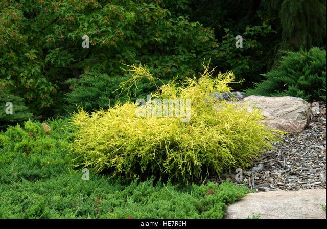 Chamaecyparis pisifera filifera 'Golden Charm' - Stock Image