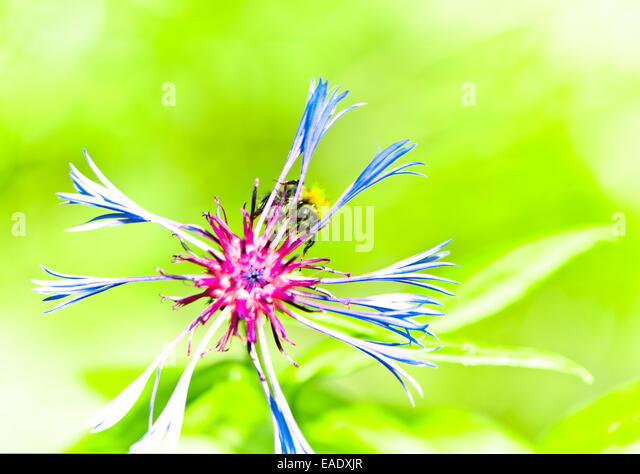 humble-bee on flower - Stock Image