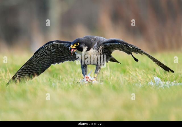 Peregrine Falcon in Scottish Highlands - Stock-Bilder