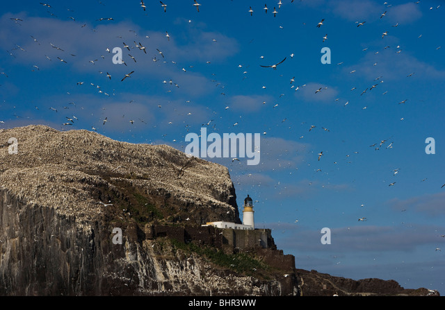 Bass rock surrounded by the gannet colony and blue sky full of gannets flying in and out. - Stock Image
