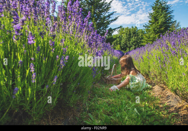 Girl sitting in lavender field, picking lavender - Stock Image