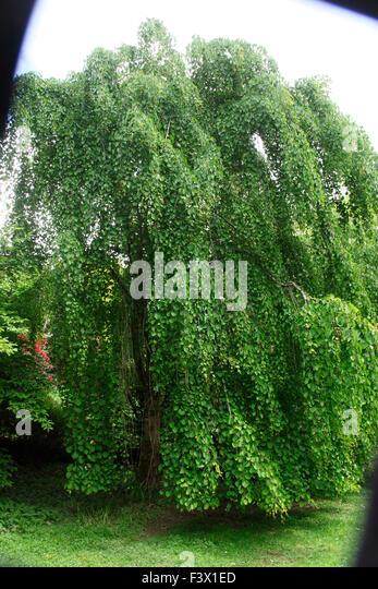 Cercidiphyllum japonicum; Weeping Katsura tree tree in leaf - Stock Image