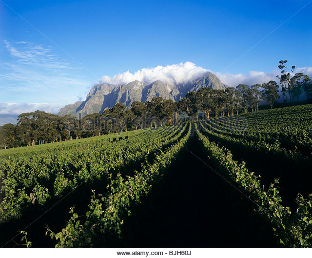 Thelema Mountain Vineyards, Stellenbosch, South Africa - Stock Image