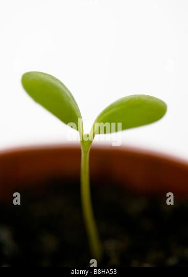 Seedling - Stock Image