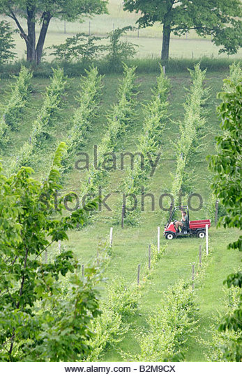 Michigan Traverse City Leelanau Peninsula Cicconne vineyard winery vines grapes trellis grapes plants farm agriculture - Stock Image