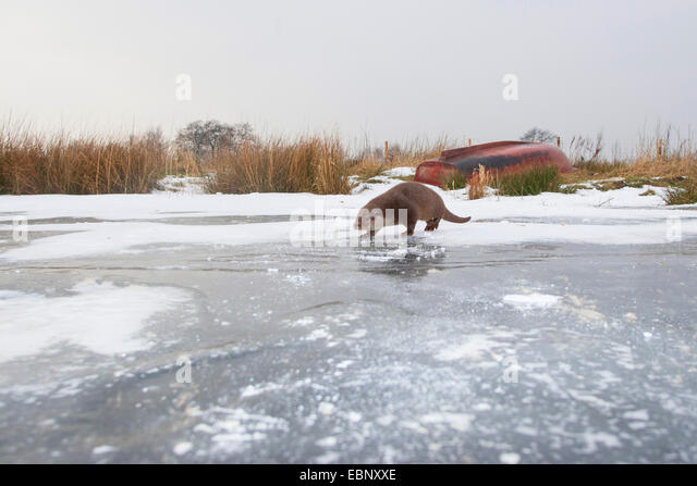 European river otter, European Otter, Eurasian Otter (Lutra lutra), female in the snow on a frozen up ice sheet, - Stock-Bilder