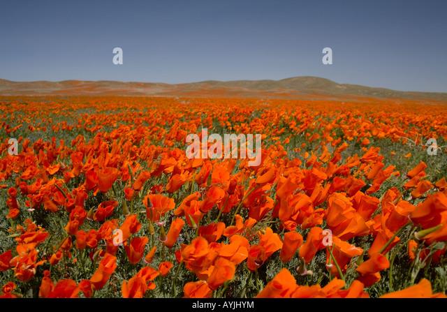 spring wildflowers in antelope - photo #10
