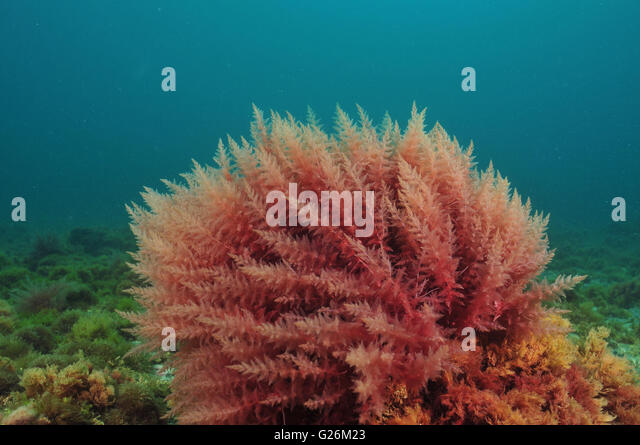 Red alge