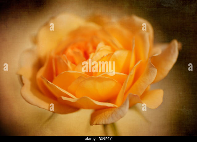 A single peach rose - Rosa - Stock Image