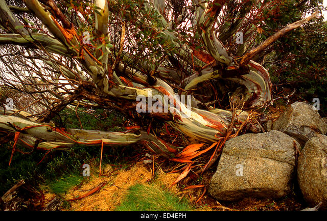 Australia: Snow gums at Charlotte Pass, Snowy Mountains, NSW - Stock Image