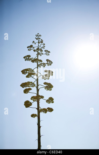 An Aloe Vera plant in flower - Stock Image