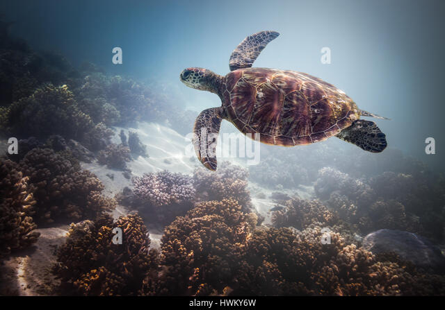 Green Sea Turtle (Chelonia mydas) - Stock-Bilder