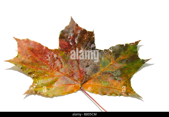 Multi coloured maple leaves isolate on white backgroung - Stock Image