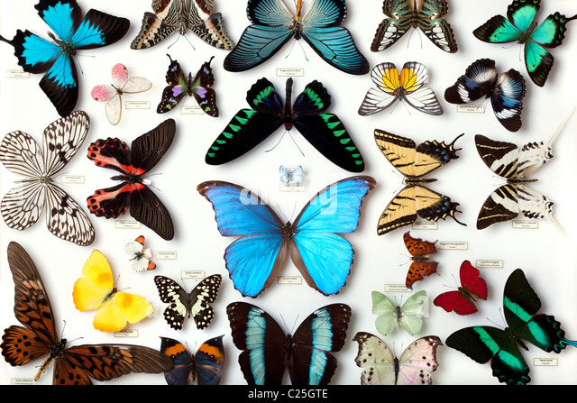 Display of butterfly collection - Stock Image