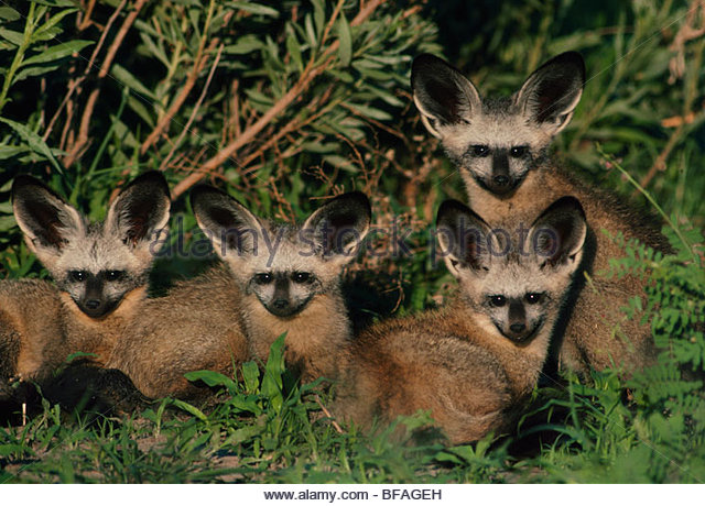 Young bat-eared foxes at den, Otocyon megalotis, Chobe National Park, Botswana - Stock Image