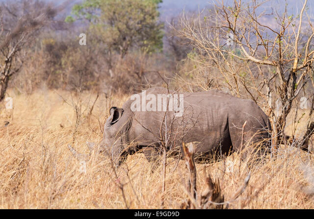 White Rhinoceros (Ceratotherium simum) feeding in shrubland in Mosi-oa-Tunya National Park near Victoria Falls, - Stock Image