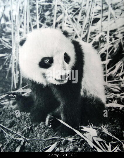 Vintage photograph of a Panda in China 1925 - Stock Image