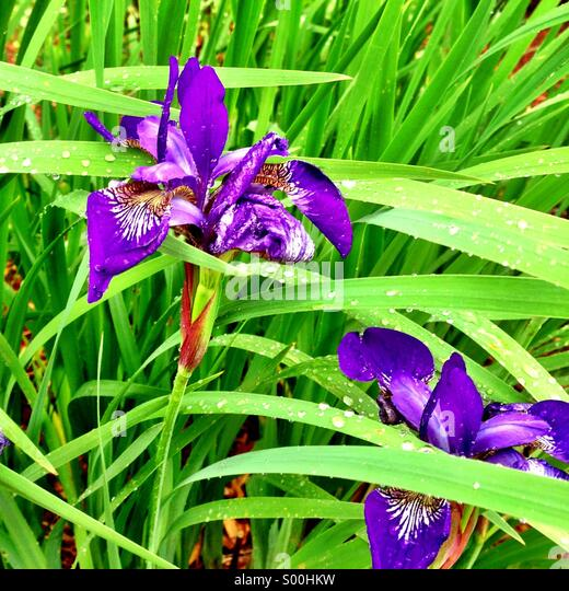 Purple irises. - Stock Image