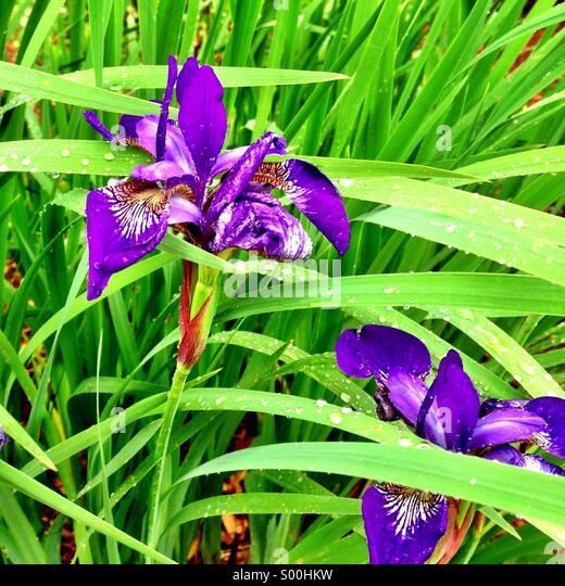 Purple irises. - Stock Image