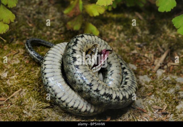 dice snake (Natrix tessellata), feigning death, Greece, Creta, Greece - Stock Image