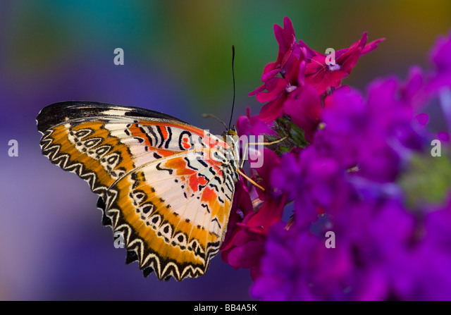 Sammamish Washington Tropical Butterflies photograph Common Lacewing butterfly, Cethosia biblis on verbena - Stock Image