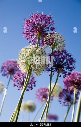 White and purple flowers against blue sky - Stock Image
