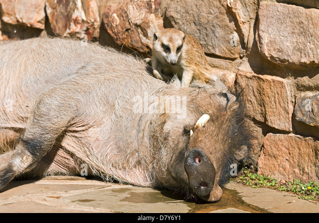 warthog and meerkat relationship with god