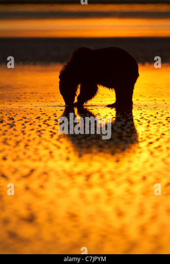 Brown / Grizzly Bear looking for clams at sunrise, Lake Clark National Park, Alaska. - Stock Image