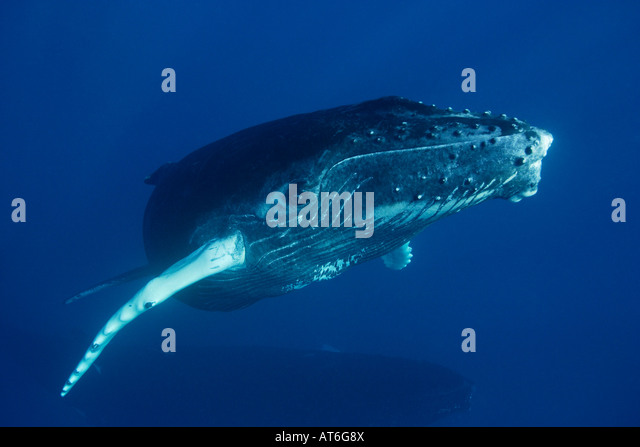 ny0015-D. Humpback Whale, Megaptera novaeangliae, curious calf approaching closely. Photo Copyright Brandon Cole - Stock Image