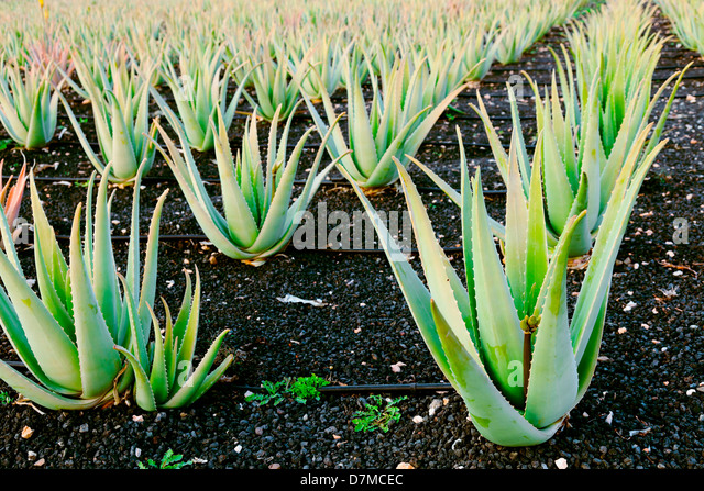 Aloe vera farm - Stock Image